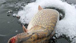 рыба Воронеж